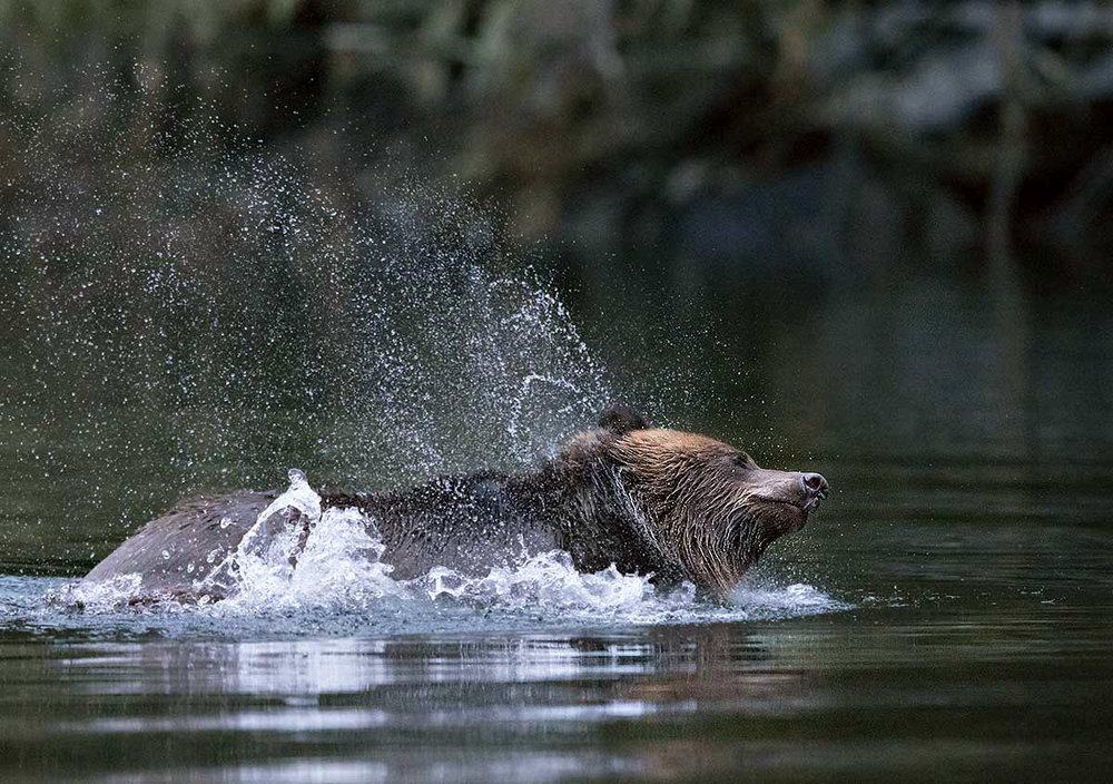 """Here in the Great Bear Rain Forest, water really is a way of life for these fantastic creatures, the Grizzlies."""