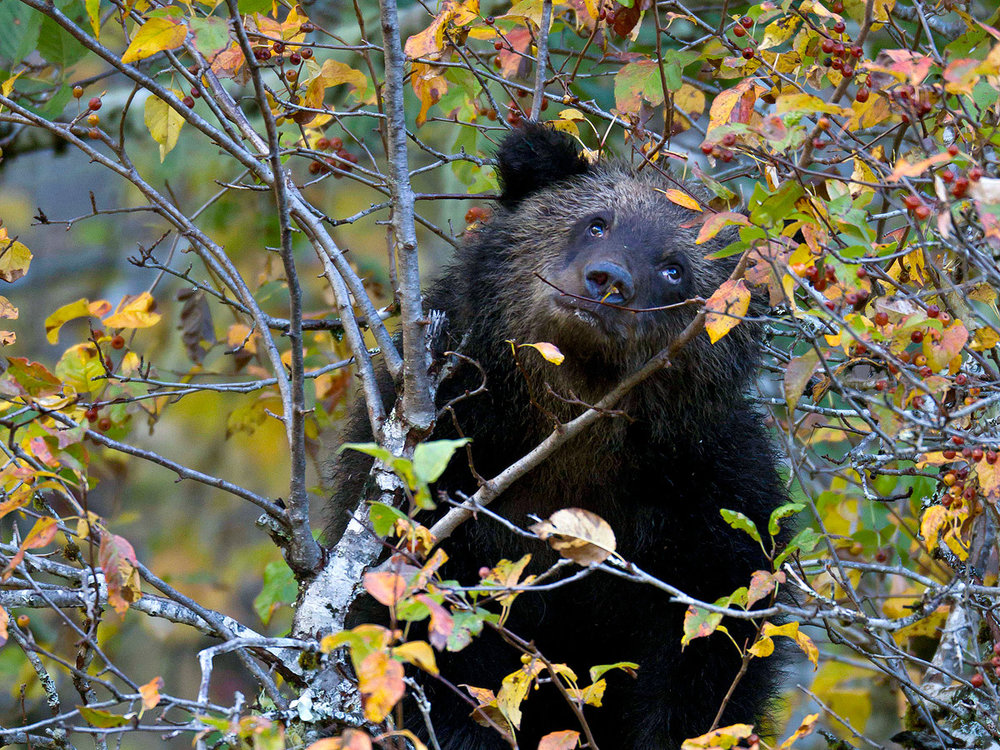 """The eyes really tell a lot here… this Grizzly cub, a good little omnivore in training, has found a safe place to feast on crab apples while Mom does similar in a neighboring tree."""