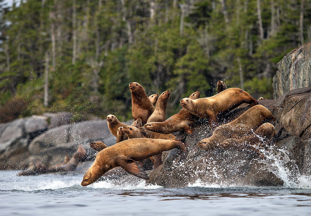 """These Stellar Sea Lions come and go non-stop, alternating between swimming and drying themselves on the rocks. I was drifting quietly along on the Zodiac when I managed to capture this crew playing and feeding in the shallower waters."""