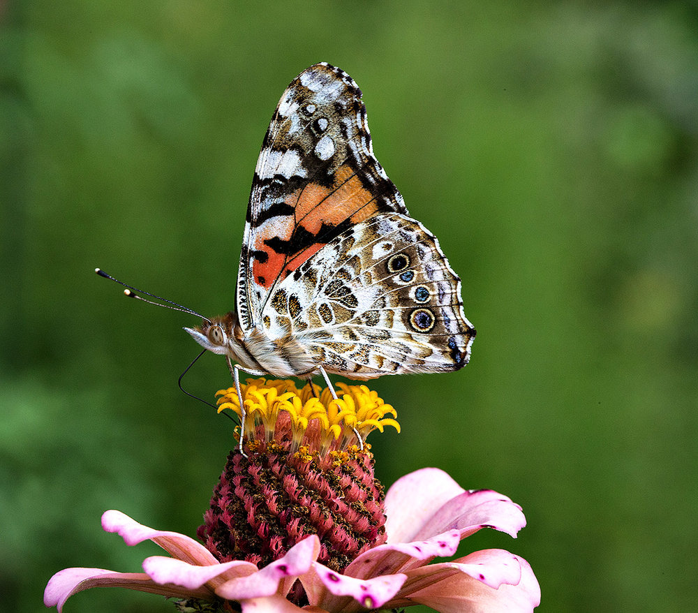 """Welcome to my backyard. I am forever astounded by the colors and patterns found in nature and it is nowhere more evident than with butterflies, particularly with my favorite, the Painted Lady Butterfly."""