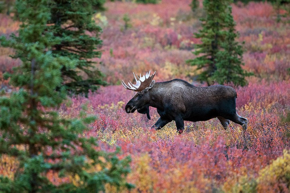 """Here in Danali you only have a couple of days to enjoy these colors as they quickly turn from green to red to brown. This Bull Moose provided the icing on the cake by moving across this gorgeous sweep of color."""