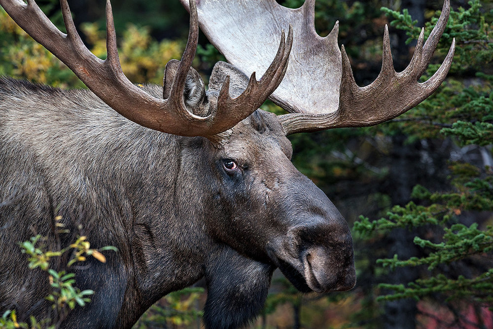 """In Danali National Park in Alaska, I captured a nice close-up of this magnificent and imposing Bull Moose staring me down. I always love the moment we make eye contact and connect."""