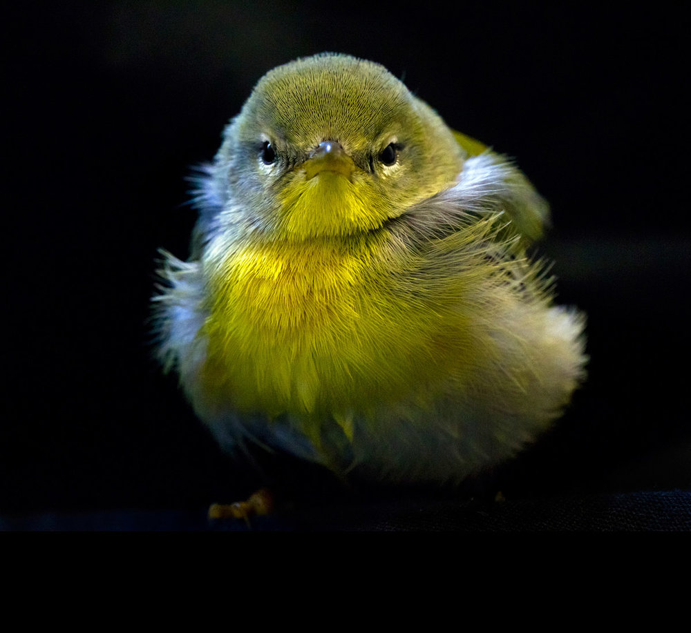 """This Tiny Yellow Warbler chick was staring at me indignantly while my camera stared back at her."""