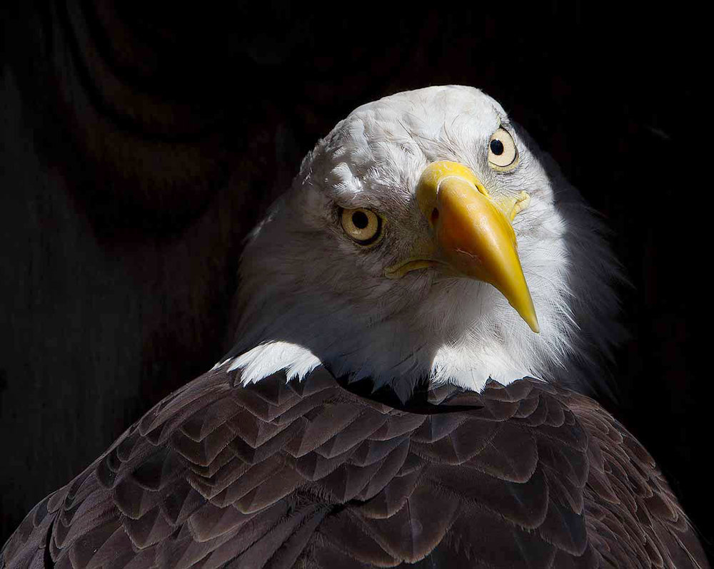 """This Bald Eagle looks as if she is sitting for a portrait. I took advantage of the lovely light streaming in to frame her and get a nice peek into the soul."""