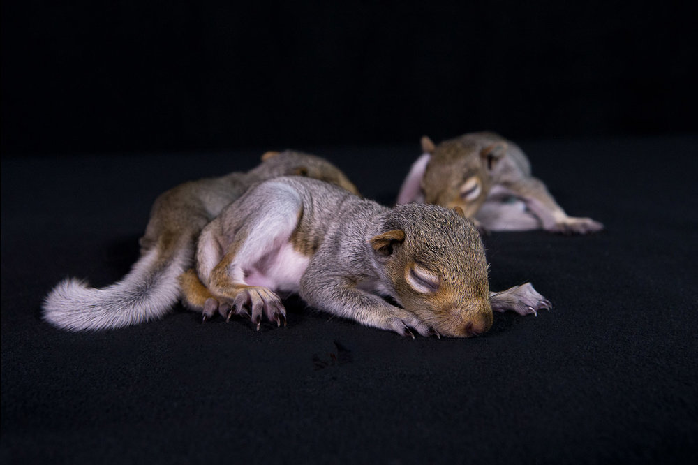 """These orphaned baby squirrels are just weeks old. Haven't even opened their eyes yet. They are the victims of man's activities and a damaged nest. Likely caused by land development. In time, the good people at Mercer will nurture them and return them to the Wild."""