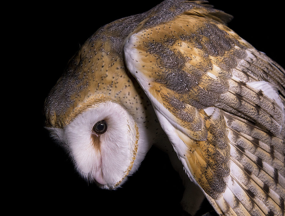 """I find this such a haunting image. This Barn Owl is missing her right wing and will be held back for educational purposes."""