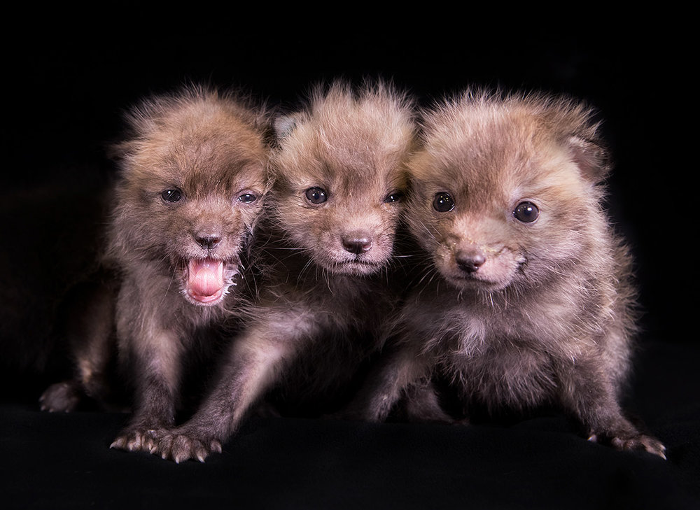 """These 3 siblings are orphaned Coyote pups who were brought to the Center where they will be raised to develop a healthy fear of humans. Avoiding the likes of us will help them survive upon return to the Wild."""
