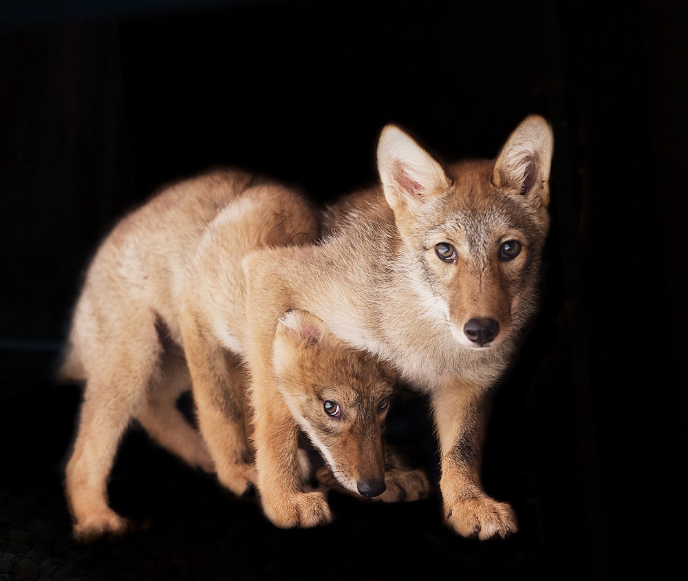 """These Coyote Pups wanted nothing to do with me. You can see the one sibling hiding behind the other… this is his exhibiting a healthy fear of humans, critical to their future survival."""