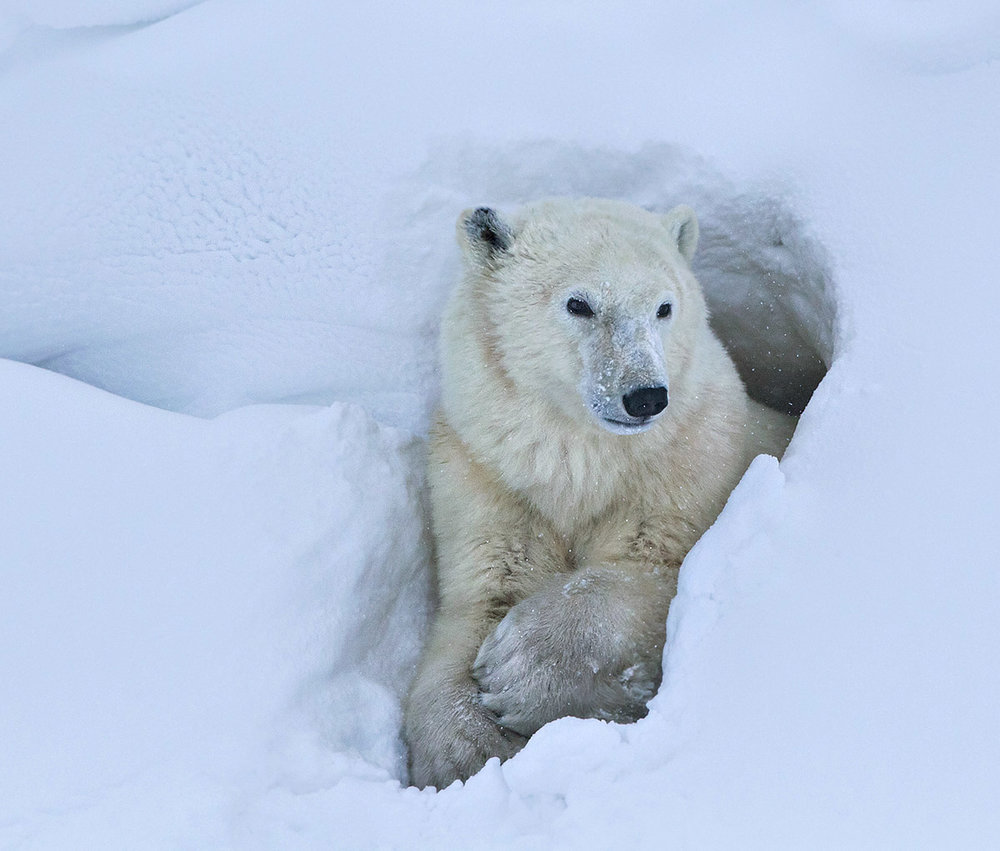 """""""While waiting for the sea ice to form, this male found a temporary day den to wait in. The golden-white fur against the blue-white snow makes this image for me."""""""