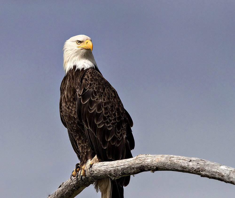 """This Bald Eagle in Alaska's Katmai National Park was a happy accident. The day was done and I was headed back to the boat when I happened upon this guy hanging out on the driftwood along the shore. He was kind enough to allow me to take his portrait… while at his most regal I would add."""
