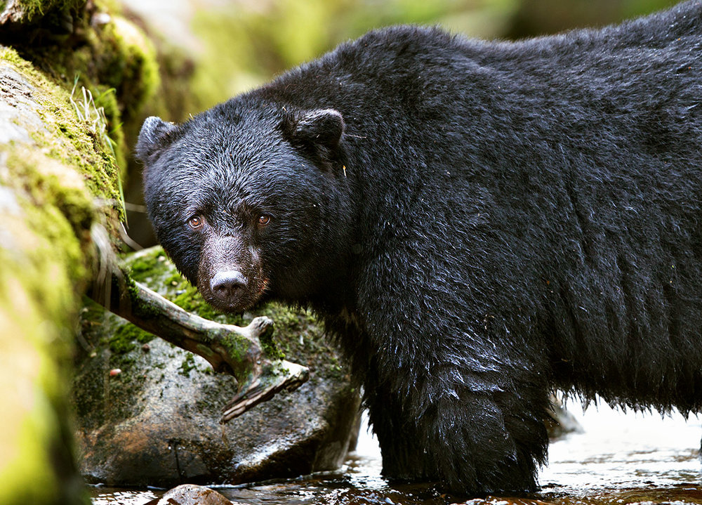 """This Black Bear never felt threatened by my presence. This is my goal every time I go out into their world with my camera."""