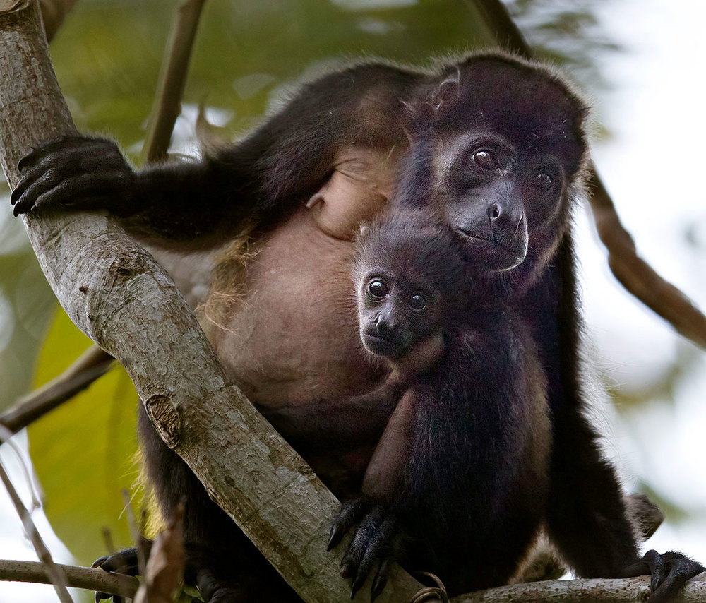 """I happened upon this Mother and child… just two Howler Monkeys peacefully hanging in their tree. I just love the forlorn expression and the light in her eyes and am struck by their relaxed nature in my presence. """
