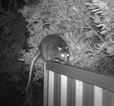 A Ringtail Possum captured on a motion sensor camera