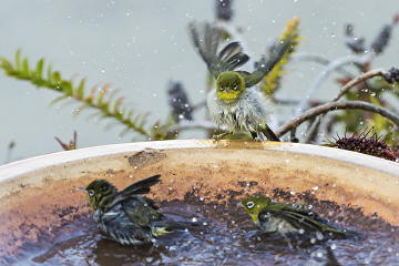 Silvereyes (Zosterops lateralis) enjoying an evening bath in Albany