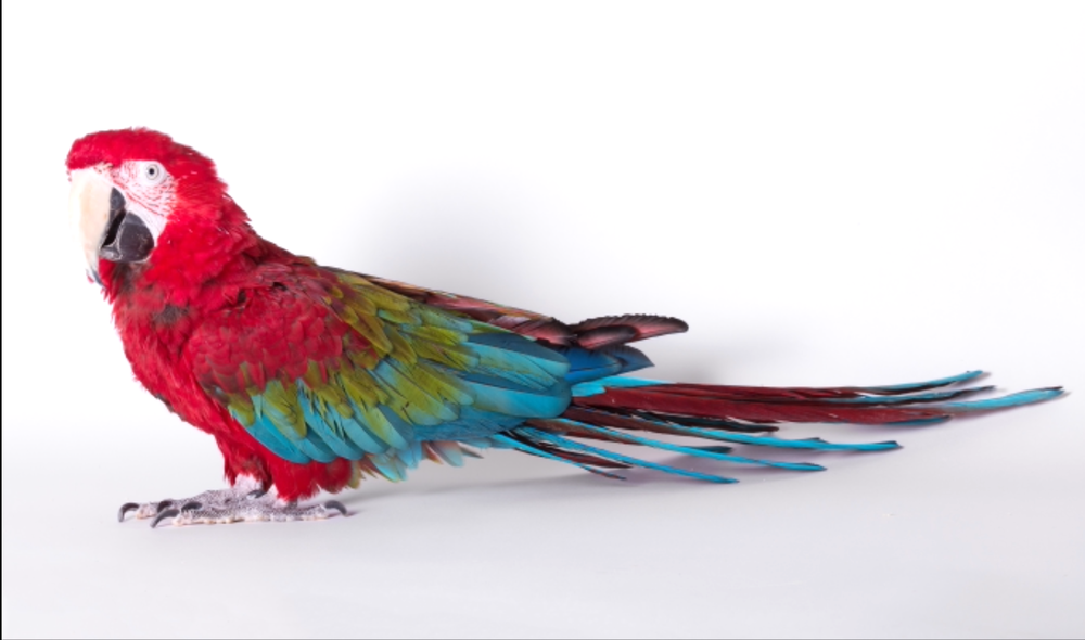 GREENWING MACAW