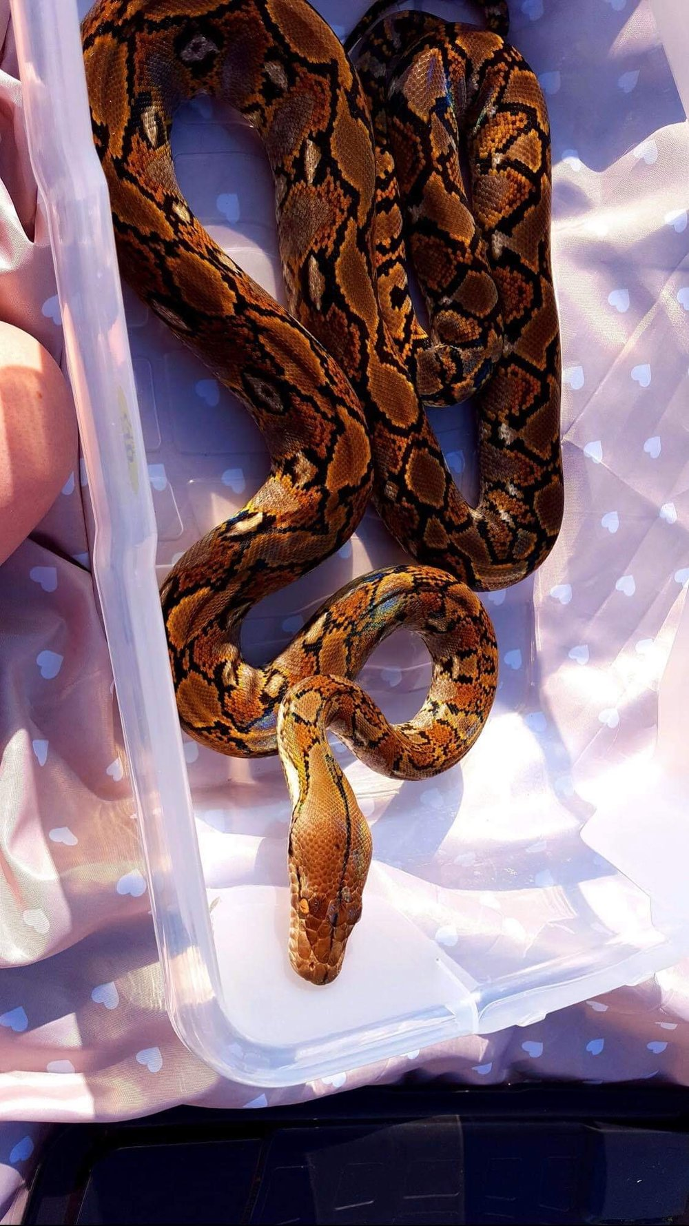 REGGIE THE RETICULATED PYTHON