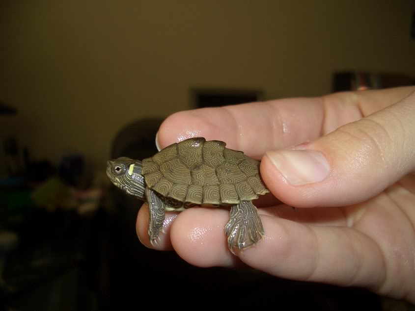 BABY TERRAPIN / MAP TURTLE