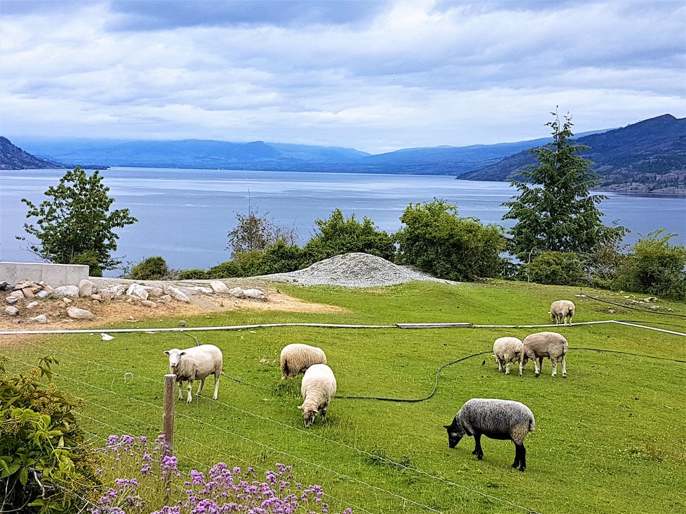 Sheep outside.jpg