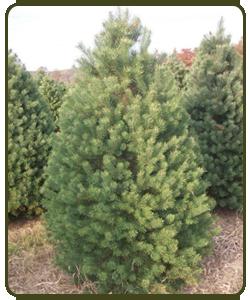 Scotch-Pine.png