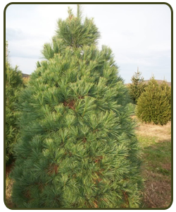 Eastern-White-Pine.png