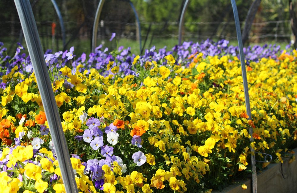 edible-flowers-christchurch