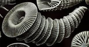Ernst Haeckel's Rugose Coral