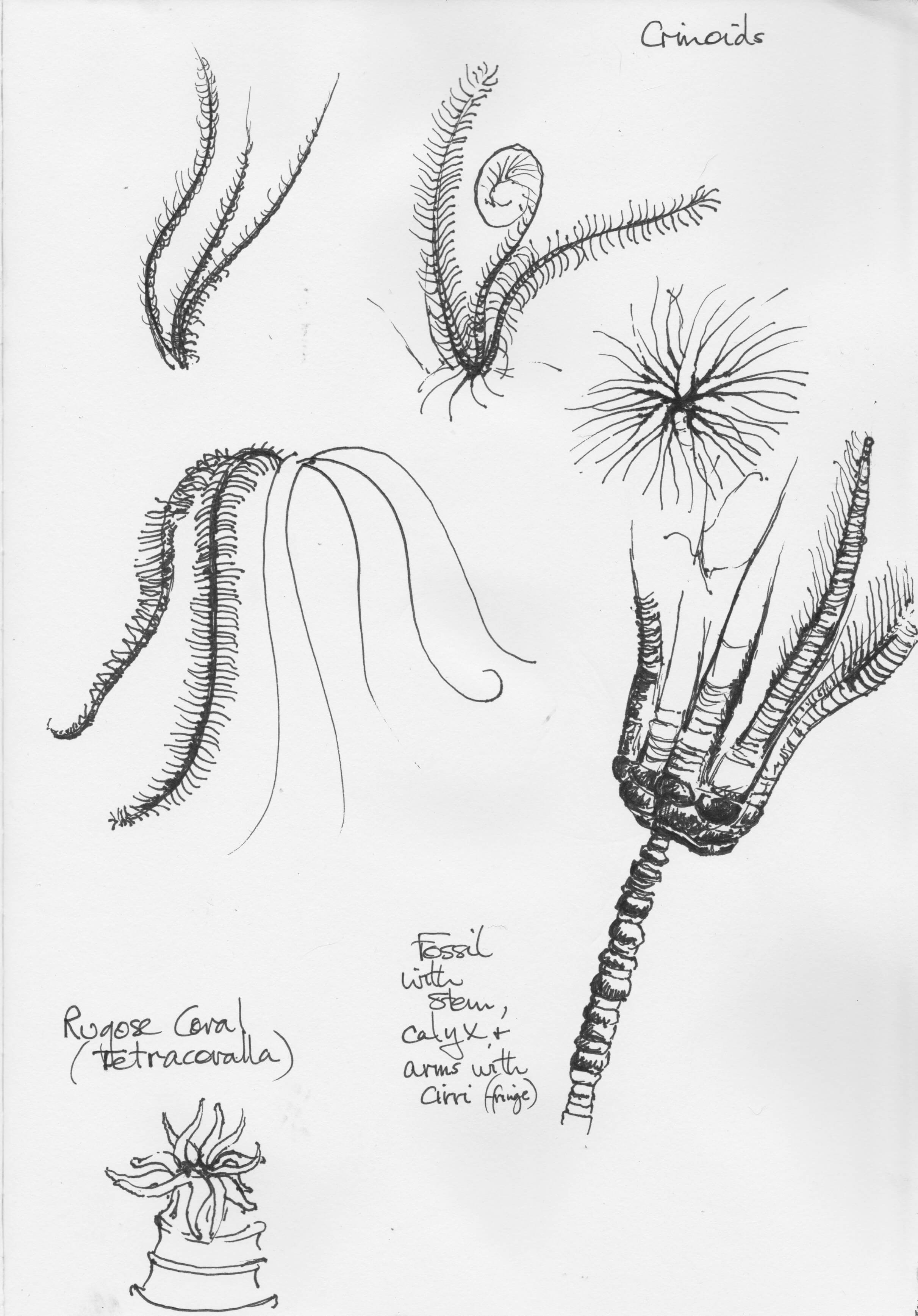 Crinoids and Coral