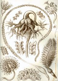 Sea Pen - Ernst Haeckel