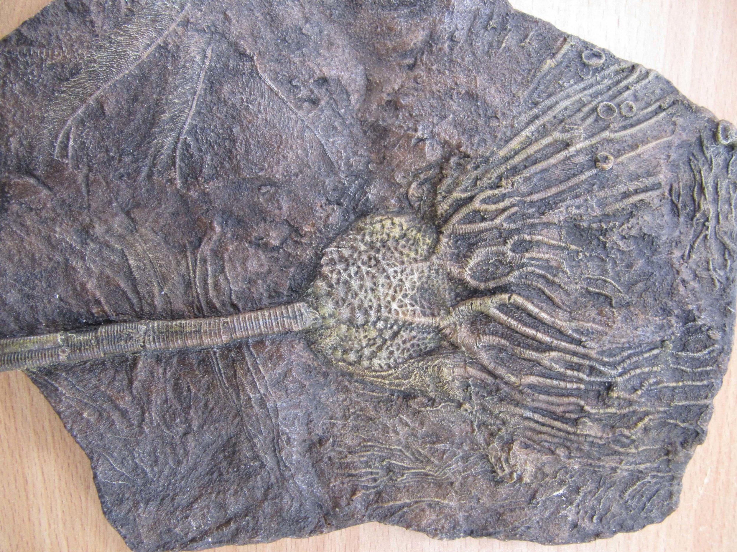 Crinoid fossil