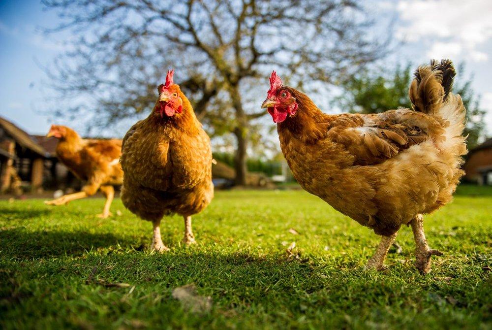 freedomrangerchickens.jpg