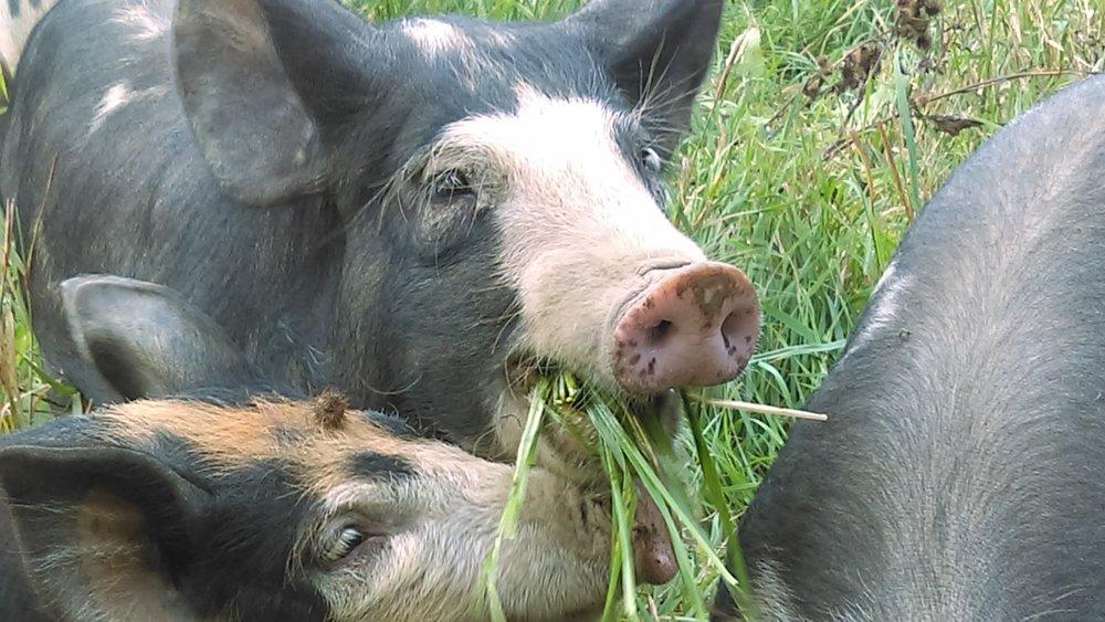 pig portrait.jpg