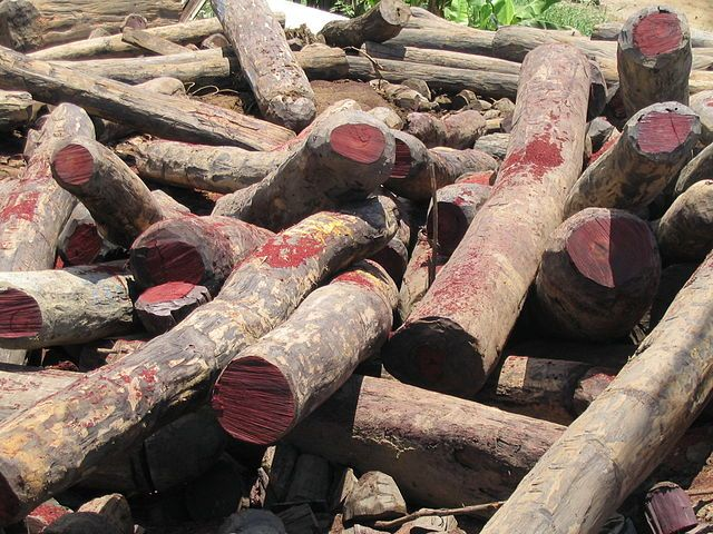 THE IVORY OF THE FOREST - THE ILLEGAL ROSEWOOD TRADE