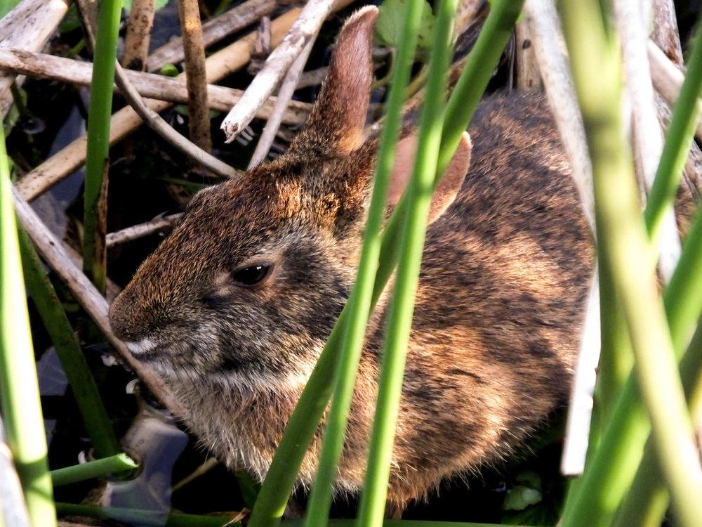 Marsh-Rabbit