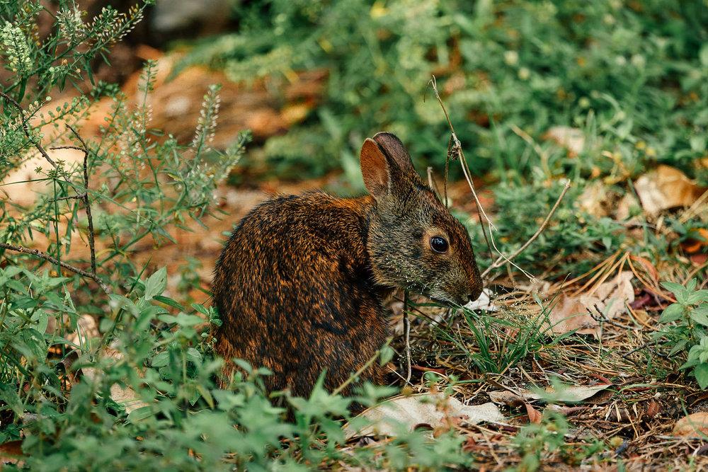 Marsh Rabbit-2.jpg