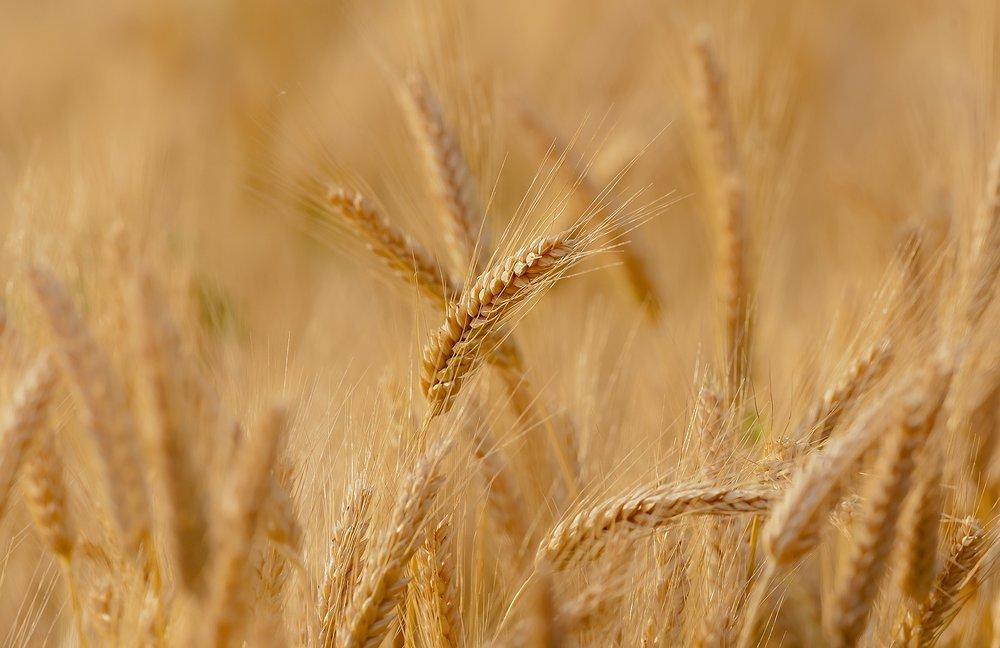 wheat-3241114_1920.jpg