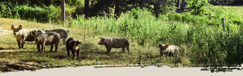 tnfc-pigs-roaming.jpg