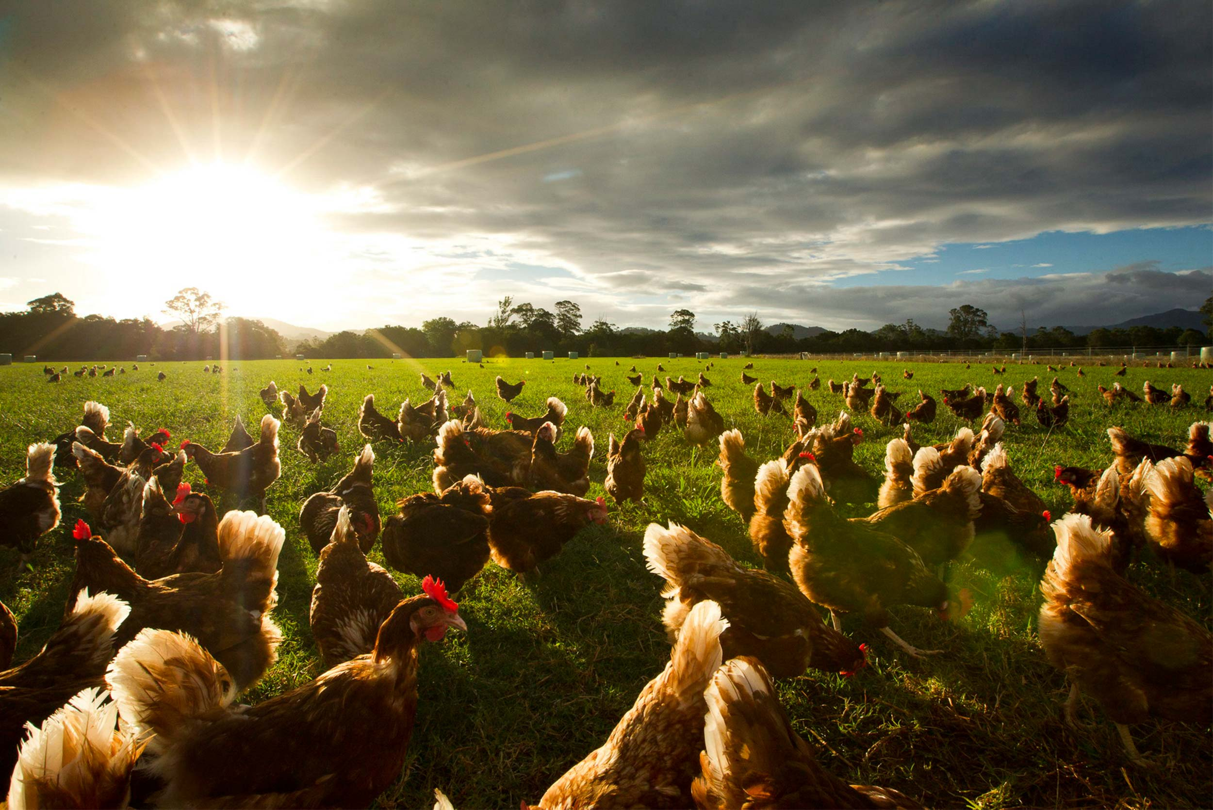 Manning Valley Free Range Chickens