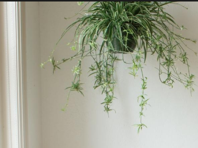 TIP: Spider plants love to hang too! Try hanging a spider plant as another way of having the planet in the office.