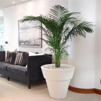 Areca Palm office plant - the centre piece