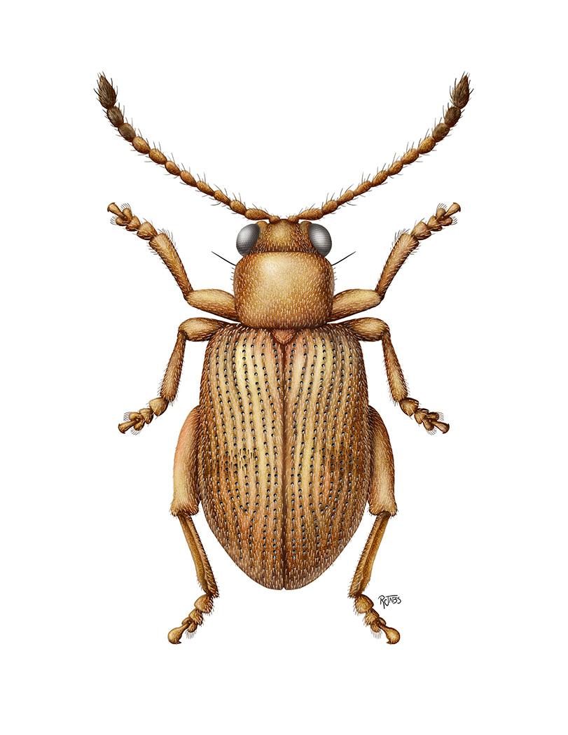 Aedmon sericellus