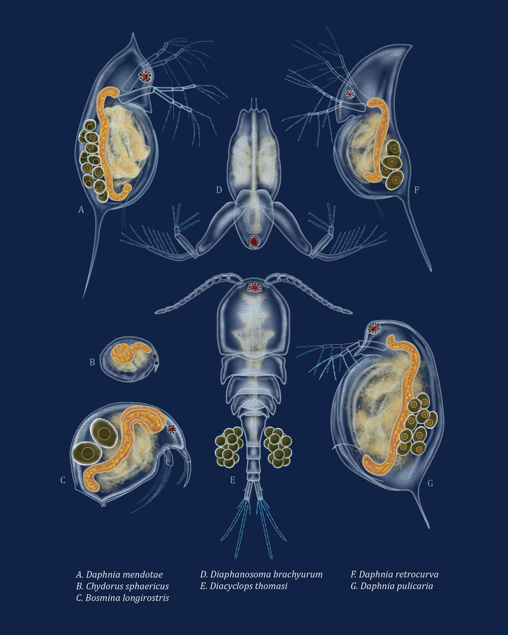 Zooplankton of the Great Lakes  |  Digital