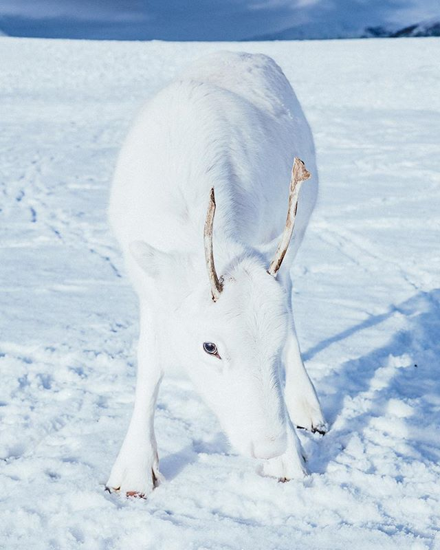 Back to the cold north❄️ Met this white little reindeer in northern Norway😍 He almost disappeared into the snow!