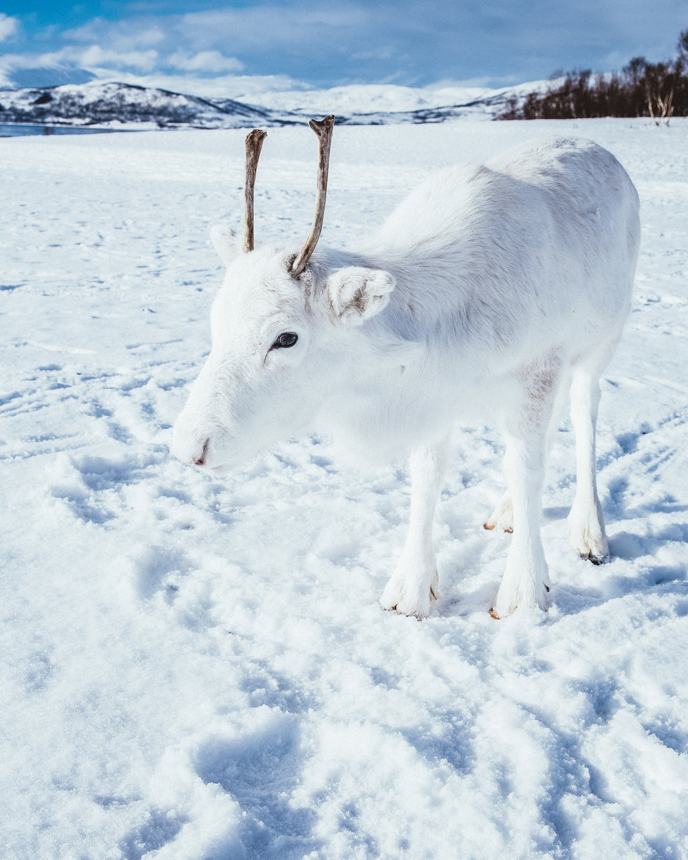 whitebabyreindeer-ByMadsNordsveen.jpg