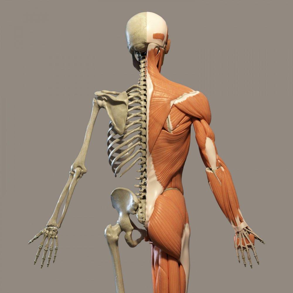 human-anatomy-1517257408wSc.jpg