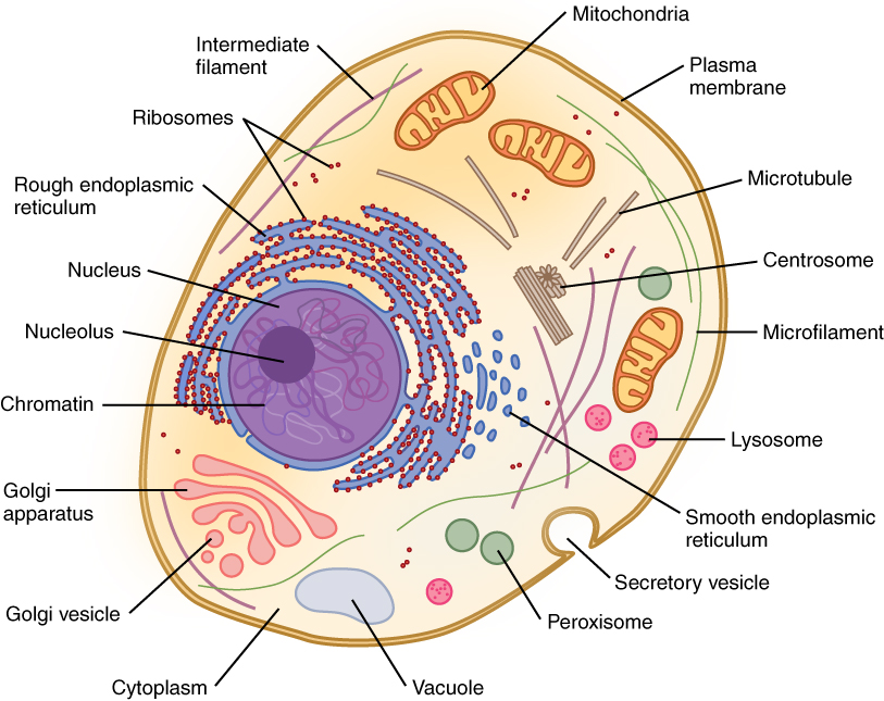 0312_Animal_Cell_and_Components.jpg