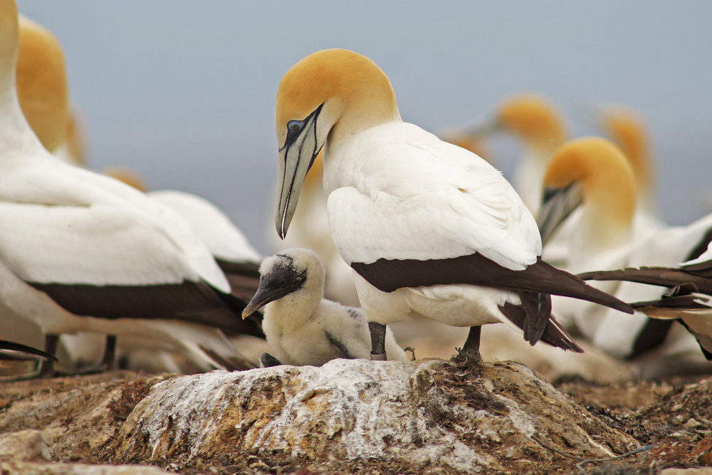 POINT DANGER - Point Danger Coastal Reserve, get up close and personal with Australia's only mainland colony of Australasian Gannets.