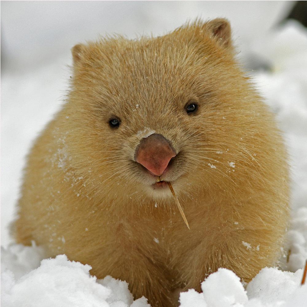 grimis wombat july.jpg