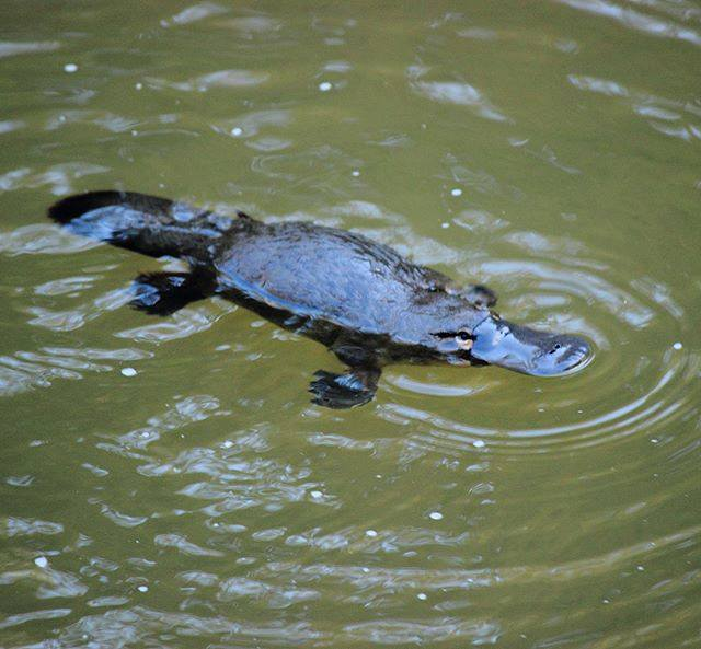 Platypus in the wild - Eungella. Photo credit via IG: @julzcarmichael
