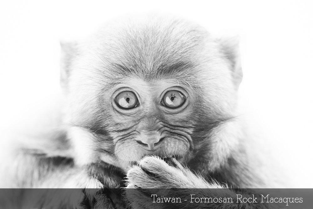 Taïwan - Formosan Rock Macaques.jpg