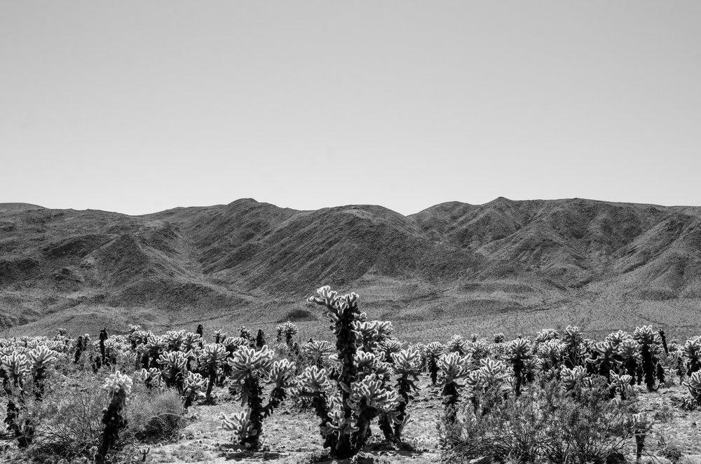 Cholla Cactus, Joshua National Tree, CA
